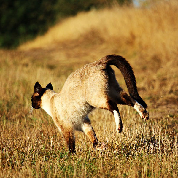 Siamese cat running on yellow grass