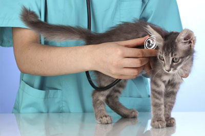 veterinarian with stethoscope is examining cute grey cat