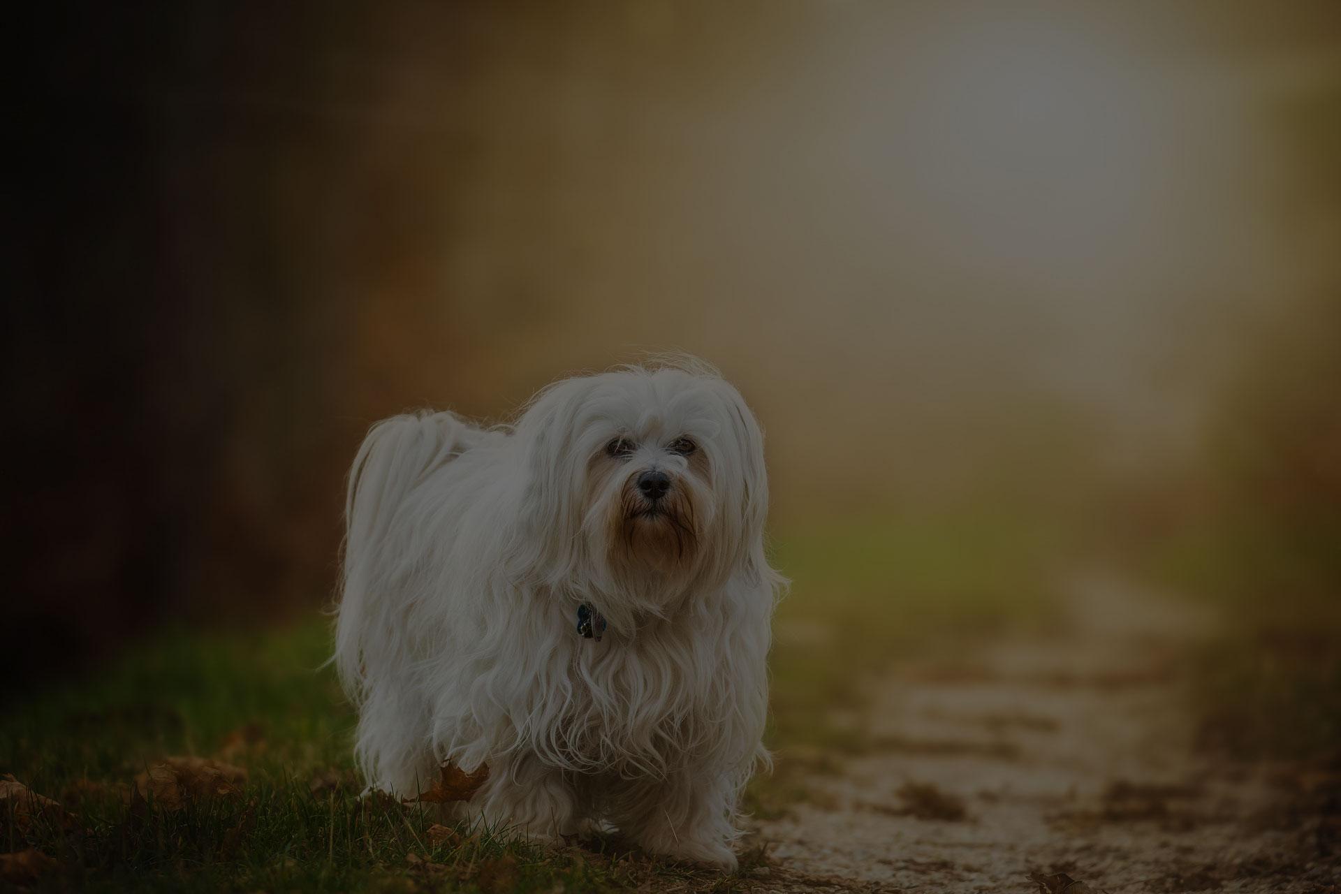 Shih tzu dog on grass, outdoor in sunset